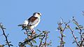 Pygmy falcon, or African pygmy falcon, Polihierax semitorquatus, at Kgalagadi Transfrontier Park, Northern Cape, South Africa. (34384165391).jpg