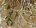 Pyrrhura roseifrons -clay lick-4a.jpg
