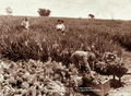 Queensland State Archives 2204 Pineapple plantation at Nudgee c 1897.png