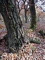 Quercus cerris bark BG 2.jpg