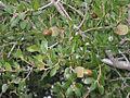 Quercus coccifera2.jpg