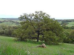 240px quercus engelmannii, santa rosa plateau