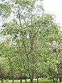 Quercus kelloggii tree.jpg