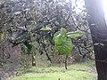 Quercus semecarpifolia 05.jpg