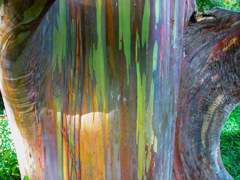 File:Rainbow Eucalyptus, Maui, HI.jpg
