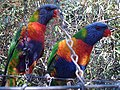 Rainbow Lorikeets by Margarette Allen - panoramio.jpg