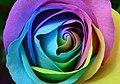 Rainbow Rose (Unsplash).jpg