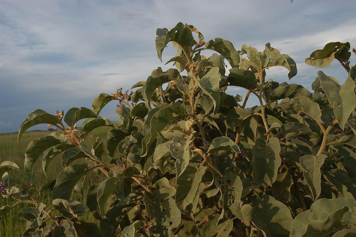 Solanum lycocarpum - Wikipedia Tomato Plant Flower To Fruit