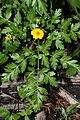 Ranunculus eschscholtzii 7547.JPG