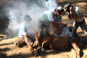 Livestock branding - Hot iron horse branding, Spain