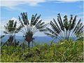 Ravenala madagascariens Madagascar.jpg