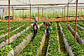 Recogiendo fresas en Vara Blanca de Heredia.jpg
