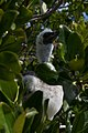 Red-Footed Booby chick (6519183513).jpg