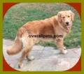 Red-Golden-Retriever-Puppies-New.webp