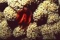 Red Anemone.tif