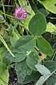 Red Clover (Trifolium pratense) - Oslo, Norway 2020-09-25.jpg