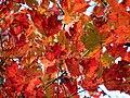 Red Maple (30933509732).jpg