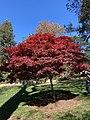 Red Maple Tree.jpg