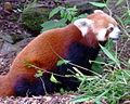 Red Panda (3830689765).jpg
