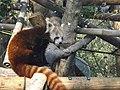 Red Panda 07.jpg