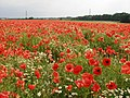 Red Poppies - geograph.org.uk - 344543.jpg