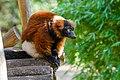 Red Ruffed Lemur (50350588627).jpg