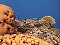 Red Sea Corals1.JPG