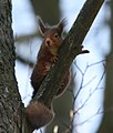 Red Squirrel - geograph.org.uk - 1745794.jpg