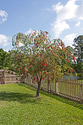 Red bottlebrush tree in Florida.jpg