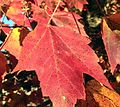 Red maple leaf in autumn.jpg