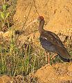 Red naped ibis.jpg