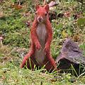 Red squirrel katowice2.jpg