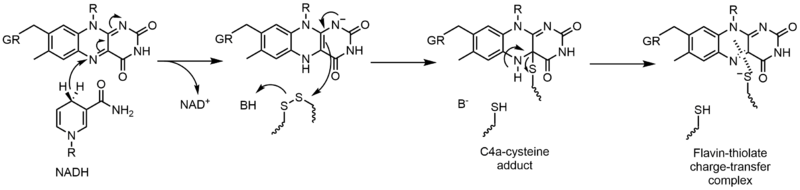 Reductive half-reaction of glutathione reductase.png