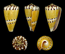 conus mustelinus   wikipedia