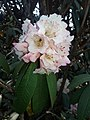 Rhododendron28.jpg