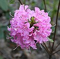 Rhododendron 'Hardijzers Beauty'.jpg