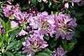 Rhododendron catawbiense Grandiflorum 6zz.jpg