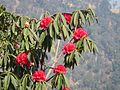 Rhododendron tree 02.jpg