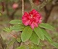 Rhododentron 'Eminent' Swarthmore-Tyler Hybrid Flower.JPG