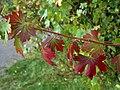Ribes aureum - Autumn colours.JPG