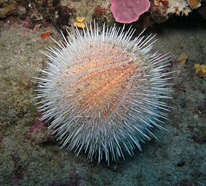 The sea urchin
