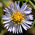 Rice button aster (Symphyotrichum dumosum) (6435495559).jpg