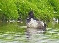 Ringand Ring-necked Duck (20162266778).jpg