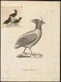 Rollulus roulroul - 1700-1880 - Print - Iconographia Zoologica - Special Collections University of Amsterdam - UBA01 IZ17100265.tif