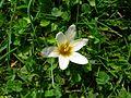 Romulea bulbocodium white - Lasithi plateau.jpg