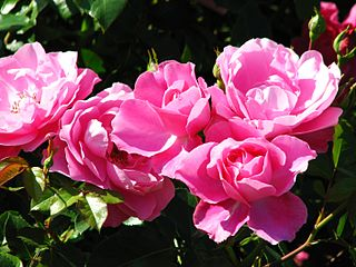 Rosa 'Deborah' 01.jpg