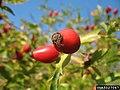 Rosa canina fruit (44).jpg