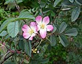 Rosa glauca inflorescence (41).jpg
