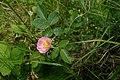 Rosa rubiginosa inflorescence (12).jpg