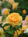 Rose, Julia Child, バラ, ジュリア チャイルド, (15789206058).jpg